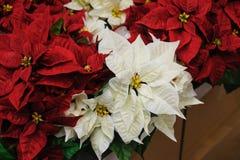 Czerwonych i białych kwiatów bożych narodzeń gwiazda Obrazy Royalty Free