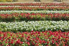 Czerwonych i białych kwiatów ogród Zdjęcie Royalty Free