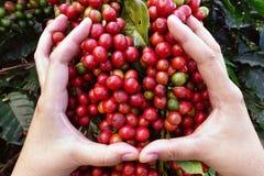 Czerwonych jagod kawowe fasole na agriculturist ręce Fotografia Royalty Free