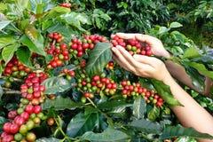 Czerwonych jagod kawowe fasole na agriculturist ręce Obrazy Royalty Free