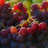 Czerwonych kul ziemskich winogron makro- kwadratowy skład Zdjęcie Stock