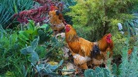 Czerwonych kurczaków mięsny traken Brahma zdjęcie wideo