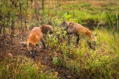 Czerwonych lisów Vulpes vulpes Obwąchuje Wokoło Obrazy Royalty Free