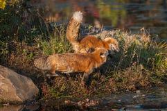 Czerwonych lisów Vulpes vulpes spór dla przestrzeni Obrazy Royalty Free