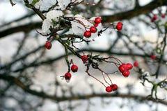 czerwonych owoców zdjęcie stock