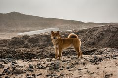 Czerwonych potomstw shiba-inu psia pozycja na pla?y obraz royalty free