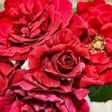 Czerwonych róż zamknięty up Fotografia Royalty Free