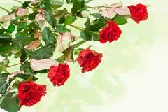 czerwonych róż nawierzchniowa woda Zdjęcie Stock