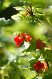 Czerwonych rodzynków gałąź z jagodami Wiązki czerwone jagody na Gueld Zdjęcia Royalty Free