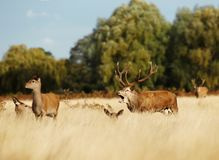 Czerwonych rogaczy jeleń bellowing wśród grupy łanie zdjęcie stock