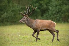 Czerwonych rogaczy jeleń biega nad łąką z zielonym lasem zamazywał w tle zdjęcia royalty free