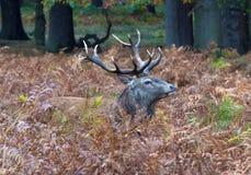 Czerwonych rogaczy jeleń w Bracken fotografia royalty free