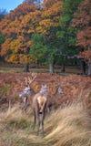 Czerwonych rogaczy jeleń z fotografia royalty free