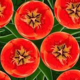 Czerwonych tulipanów kwiatów bezszwowy wzór Zdjęcie Royalty Free