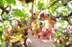 Czerwonych win winogrona na starym winogradzie zdjęcie royalty free