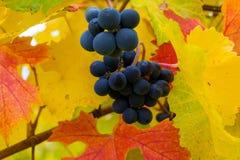 Czerwonych Win winogrona na winorośli w spadku Oregon usa Zdjęcia Royalty Free