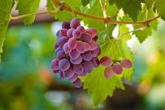 czerwonych winogron zdjęcie stock