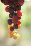 czerwonych winogron Zdjęcie Royalty Free