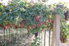 Czerwonych winogron żniwo w winnicy fotografia royalty free