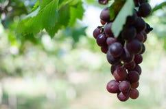 Czerwonych winogron żniwo w winnicy obrazy royalty free