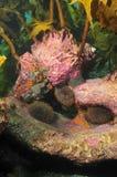 Czesacy w kelp lesie Obraz Stock