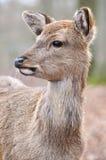 czeski jeleni ugorów gemowej prezerwy ryps Zdjęcia Stock