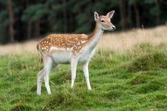 czeski jeleni ugorów gemowej prezerwy ryps Zdjęcie Stock