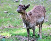 czeski jeleni ugorów gemowej prezerwy ryps Zdjęcia Royalty Free