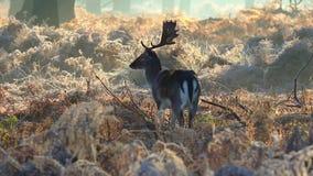 czeski jeleni ugorów gemowej prezerwy ryps zbiory wideo