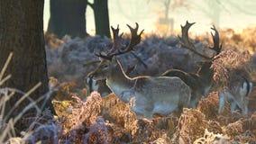 czeski jeleni ugorów gemowej prezerwy ryps zbiory
