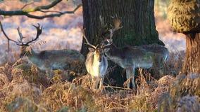 czeski jeleni ugorów gemowej prezerwy ryps zdjęcie wideo