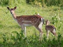 czeski jeleni ugorów gemowej prezerwy ryps fotografia royalty free