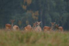 czeski jeleni ugorów gemowej prezerwy ryps Obrazy Stock