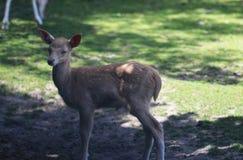 czeski jeleni ugorów gemowej prezerwy ryps zdjęcie royalty free