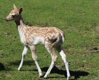 czeski jeleni ugorów gemowej prezerwy ryps obraz stock