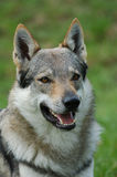 Czeslovakian Wolfdog Stock Photo