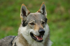 Czeslovakian Wolfdog Royalty Free Stock Photography