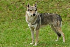 czeslovakian wolfdog Στοκ Εικόνες