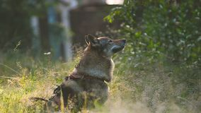 Czhechoslovakian wolf dog at the morning stock video
