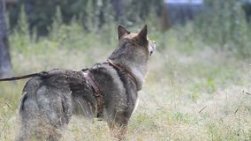 Czhechoslovakian wolf dog on a walk stock video footage