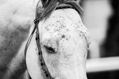 Czoło biegowy koń w monochromu fotografia stock