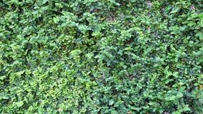 Czołgać się rośliny na ścianach Obraz Royalty Free