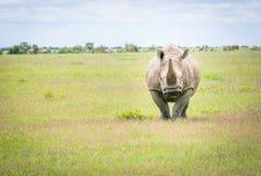 Czołowa fotografia Południowa Biała nosorożec Fotografia Royalty Free