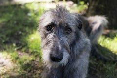Czołowy zbliżenie piękny popielaty Irlandzkiego Wolfhound łgarski puszek zdjęcie royalty free
