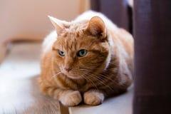 Czołowy zbliżenie wielkiego zielonookiego imbirowego kota łgarski puszek zdjęcia stock