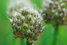 Czosnek głowy kwiat Zdjęcia Royalty Free