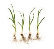 Czosnek rośliny z korzeniami na odosobnionym białym tle obraz stock
