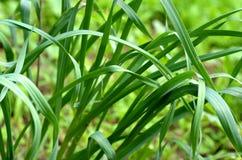 Czosnków szczypiorków Allium tuberosum rośliny dorośnięcie w miastowym ogródzie Obrazy Royalty Free
