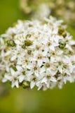 Czosnków szczypiorków kwiatostanu zbliżenie Zdjęcie Stock