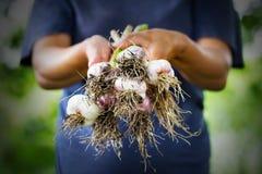 Czosnku żniwo w rękach kobieta rolnik obraz stock
